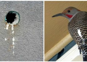 Northern flicker woodpeckers have drilled approximately 300 holes in siding on a 17 storey condominium building in Kelowna (Keith Eisenkrein / Caroline Csak)